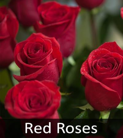Red Roses, Ecuadorian Roses