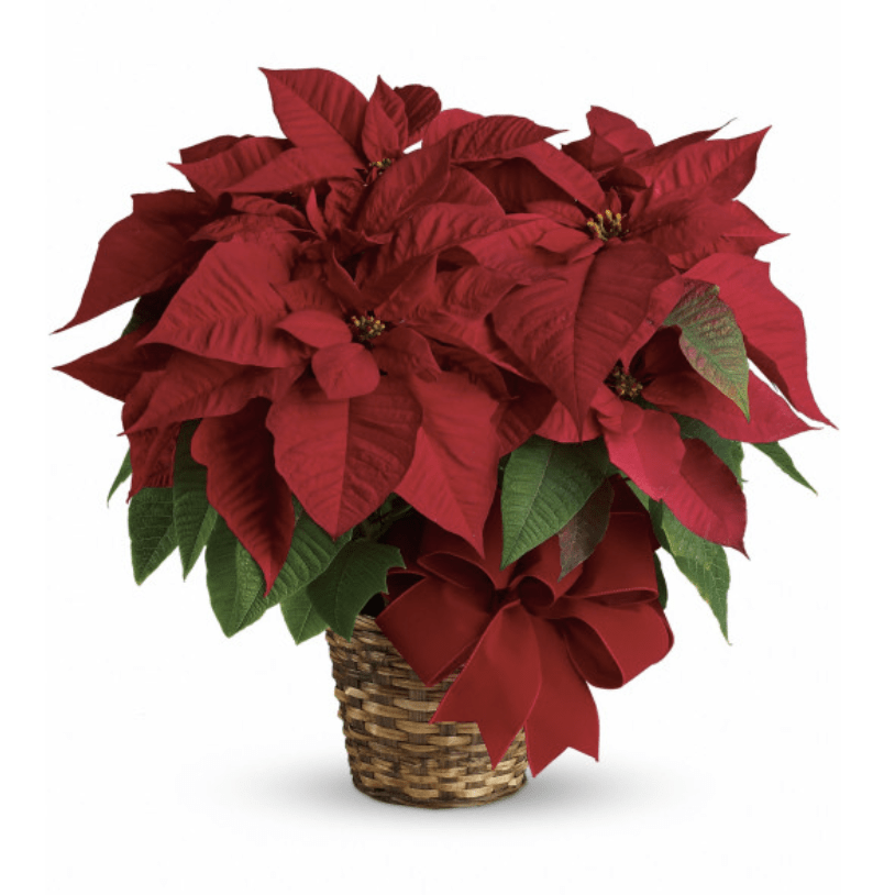 Send a Christmas Plant on Poinsettia Day to Family, Friends, and Colleagues